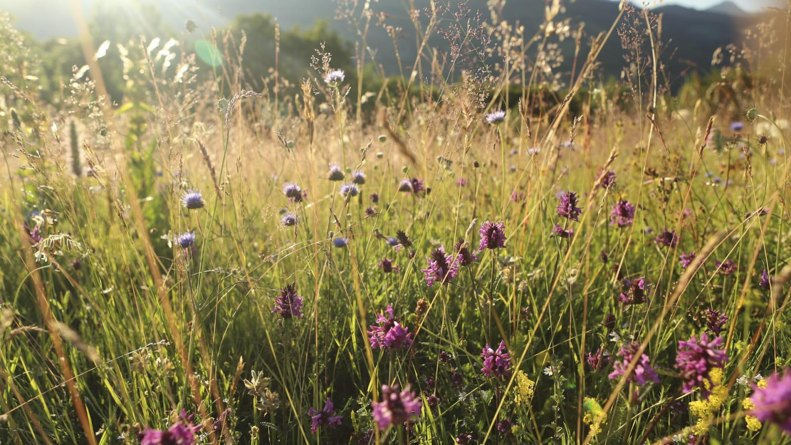 Vallée de la Cère fleurs