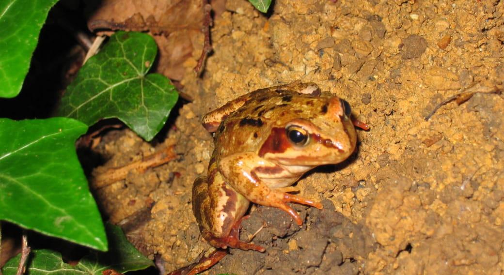 Le grand rendez-vous printanier des amphibiens. À la rencontre des grenouilles rousses