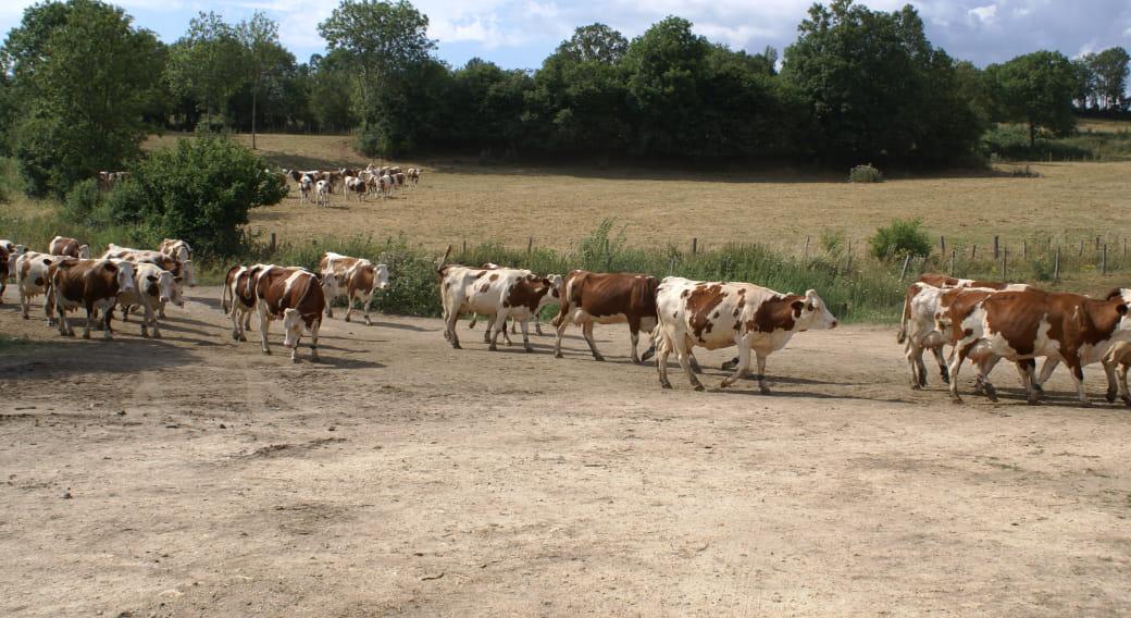 Venue des vaches