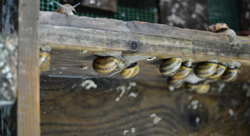 Visite de la ferme hélicicole la Coquille de Massiac