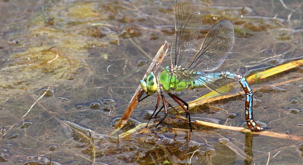 Les insectes aquatiques, la vie des mares