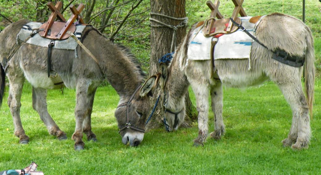 Balade avec des ânes - Volc-Ânes