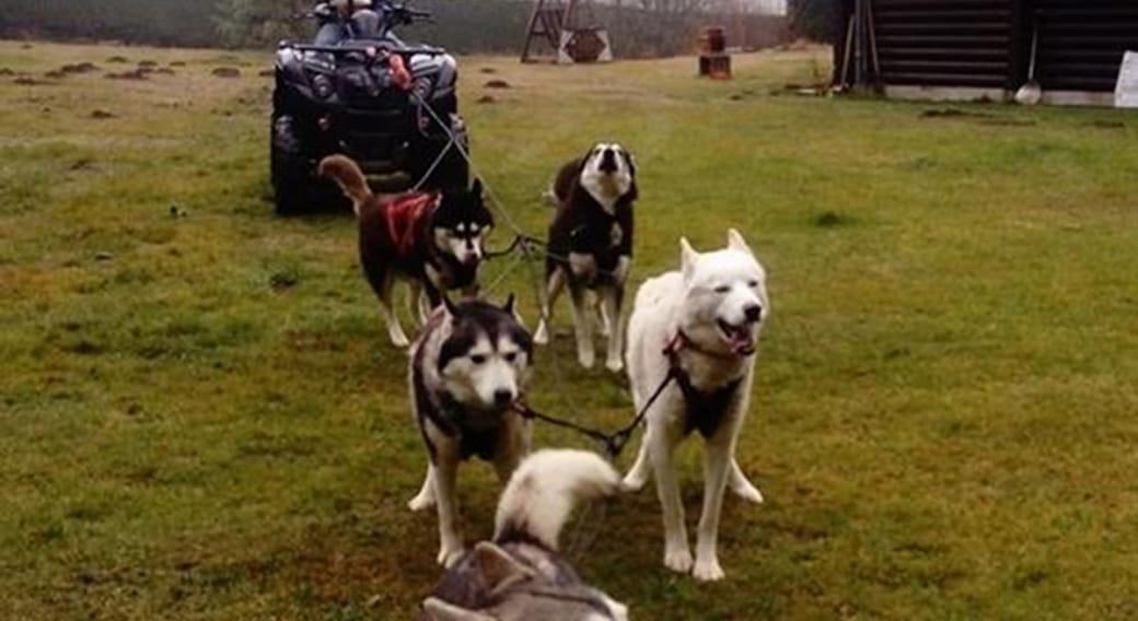 Les P'tits Loups de La Banne : chiens de traîneau