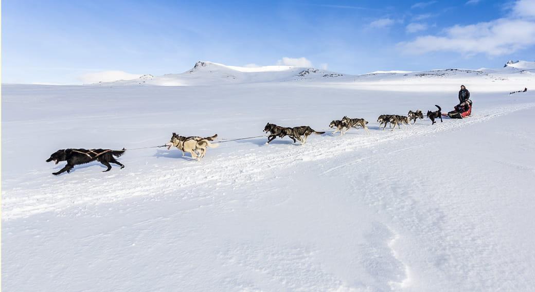 Balade en chiens de traîneau - Station du Mont-Dore
